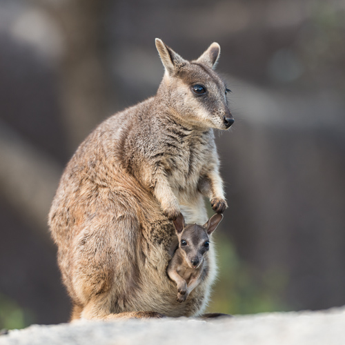 Mareeba rock-wallaby mom with joey in her pouch