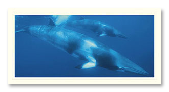 minke whale foto card