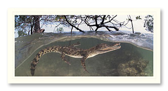 Saltwater Crocodile foto card