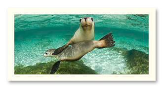 Australian Sealion foto card