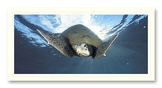 Green Sea Turtle foto card