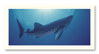 Whale Shark foto card
