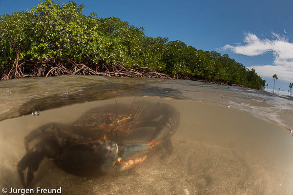 Mud crabs in the water by the mangrove roots - split level image.