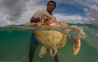 Turtle rodeo catch, tag and release. Turtle monitor Emosi Time catching a big male green turtle.