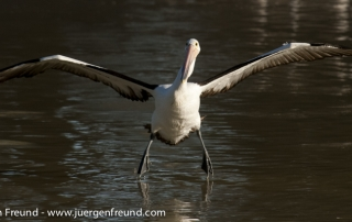 Australian Pelican landing along the Cooper Creek