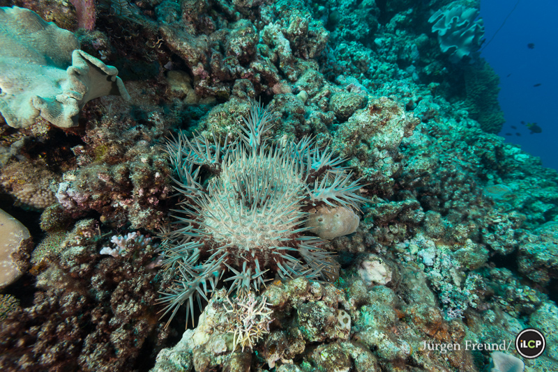 Loss of coral cover due to crown-of-thorns starfish (Acanthaster planci) attack.