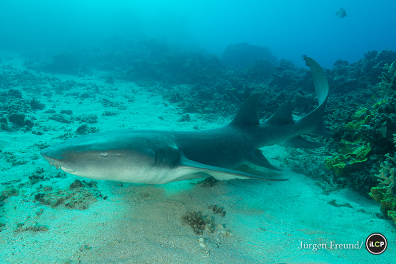 Tawny nurse shark (Nebrius ferrugineus) swimming above the sandy area.