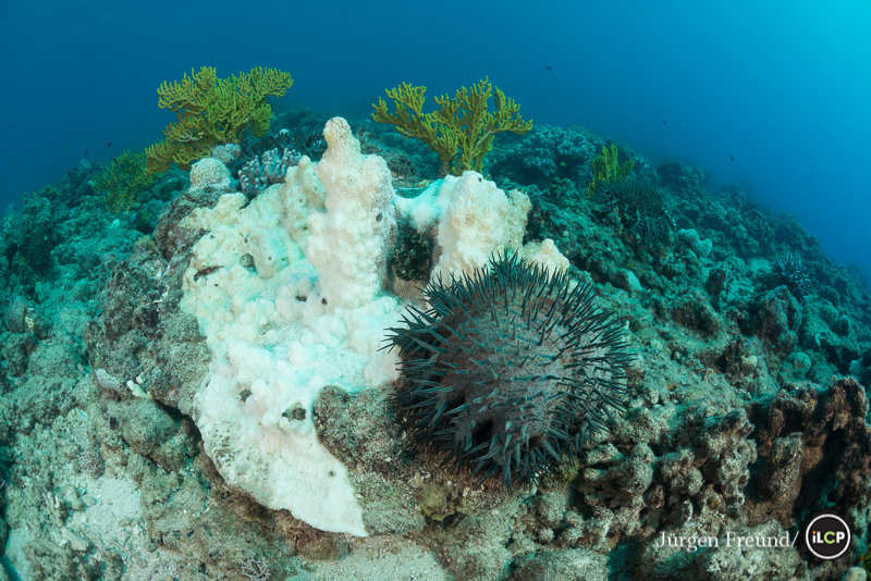 Crown of thorns starfish beside a dead coral it had digested to death.