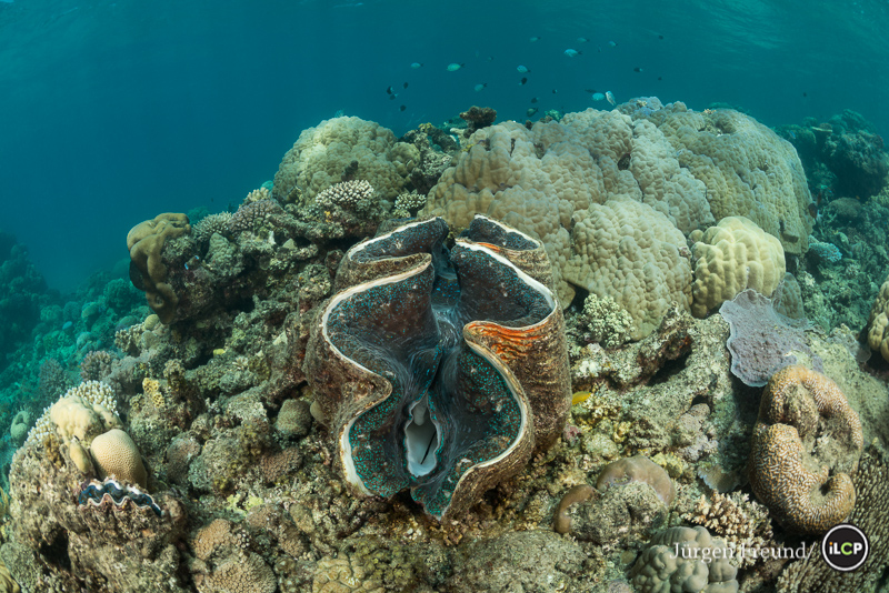Giant clam (Tridacna gigas) in the coral reef. There were many big healthy giant clams in the surveyed reefs. Porites coral head and other hard coral species show a healthy reef habitat.