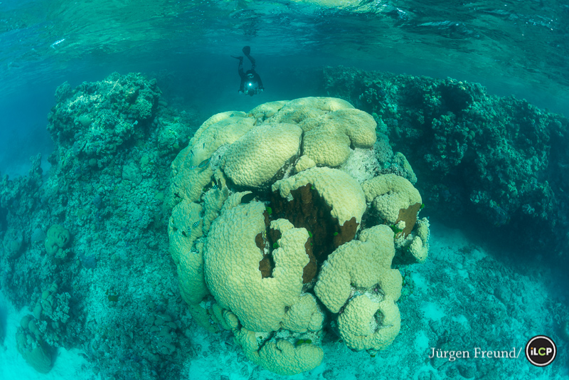 Philip Renaud, Executive Director of Living Oceans Foundation modelling behind a massive hard coral head (Porites sp.) that must be many thousand years old.