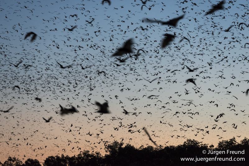 The breathtaking flyout of Little Red Flying-fox (Pteropus scapulatus) flying out of their roost after sunset to forage in the forest. This massive colony, estimated to peak at about 100,000 bats, took up residence along the Wild River of Heberton.