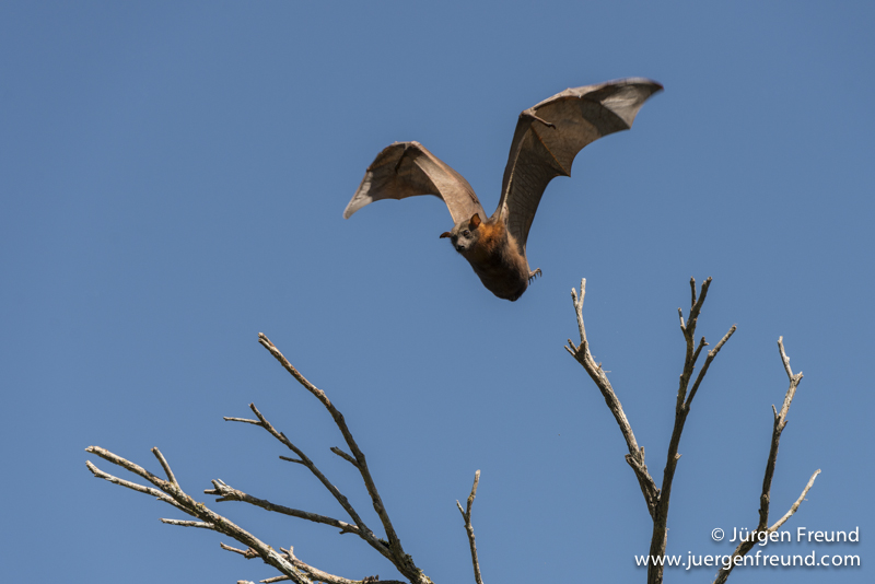 Little Red flying fox taking off.
