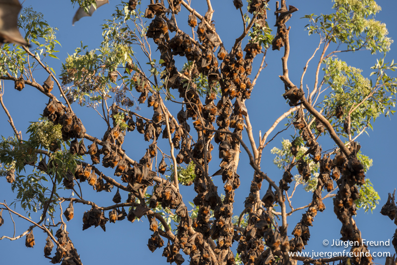 Thousands of little red flying foxes roosting on inland mahogany trees.
