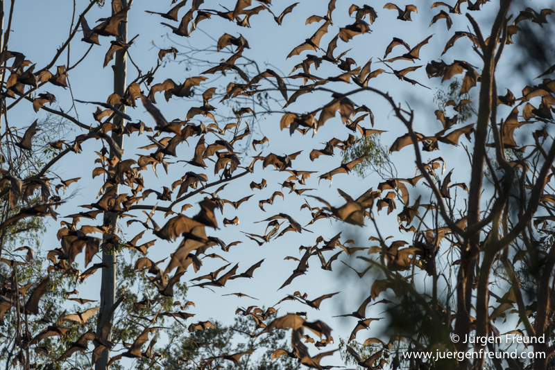 Massive colony of little red flying foxes flying during the day along the Wild River in Herberton.
