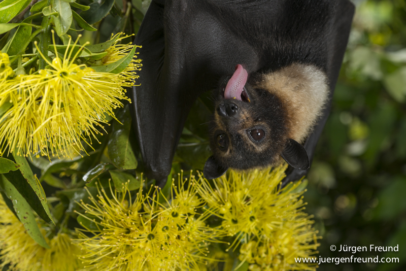 Spectacled flying fox  feeding on nectar from flowers of the golden penda.