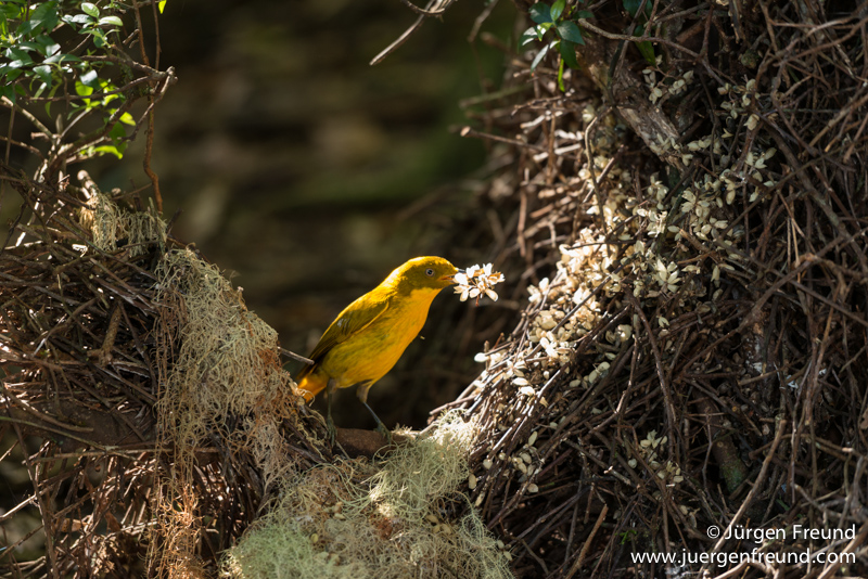 Golden Bowerbird bower with his lichen and flower arrangements