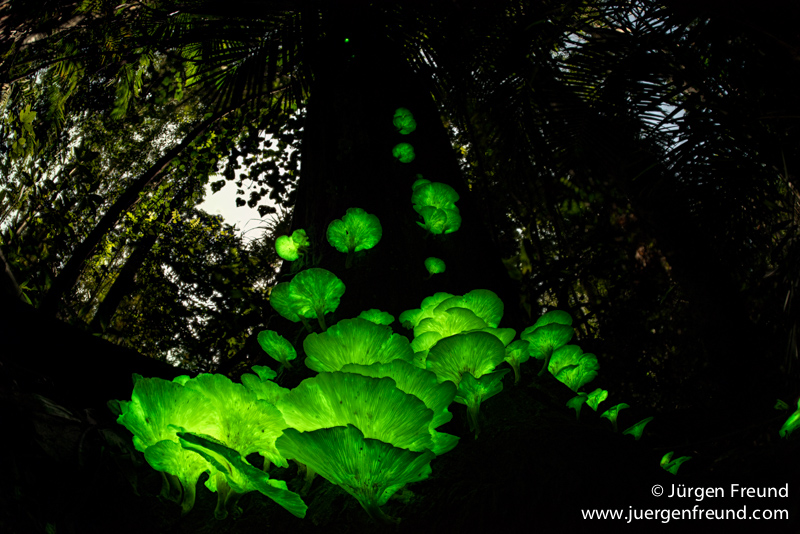Glowing fungi in the Atherton Tablelands rainforests during the wet season