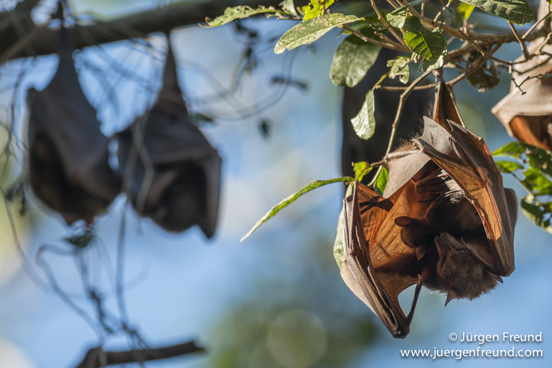 Little Red flying fox mum carrying her baby roosting and grooming within the camp. The little red flying fox (Pteropus scapulatus) is a species of megabat native to northern and eastern Australia. With a weight of 280–530 grams it is the smallest flying fox in mainland Australia. It has the widest range of all the species, going much further inland than the larger fruit bats. Its diet primarily consists of nectar and pollen of eucalypt blossoms, the pollination of which it is largely responsible. The little red flying fox is nomadic, and can be found in large groups of up to a million individuals. This species gives birth six months later than the other mainland flying fox species, in April and May.